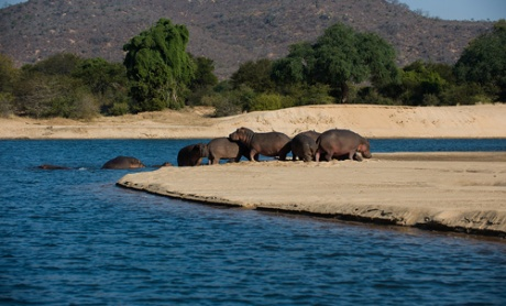 zambezi-river-sandbank-hippos-bsp-8336003-500x303
